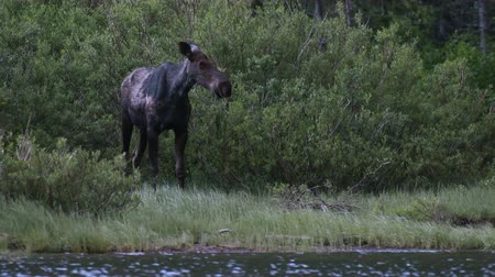 alce : Moose Emerges from Willow Bushes Along Lakeshore