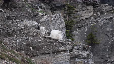 glacier national park : Mountain Goat Kid Wants to Play