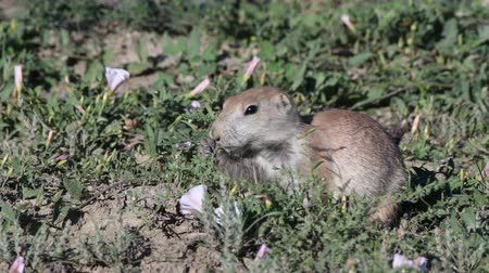 prairie : Profile of Alert Prairie Dog