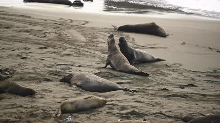 white sand : Male Elephant Seals Crawl on Beach while monitoring his competition