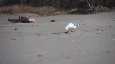 Seagull Finds Crab on Beach and Approaches it