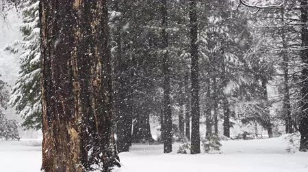 Two Large Trees Stand In Snow Storm Quarter Speed in California forest