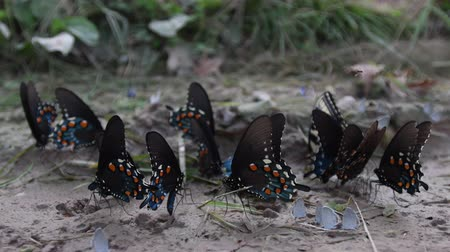 Multiple Types of Butterflies in Dry Mud Puddle Стоковые видеозаписи
