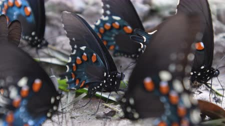 Pipevine Swallowtail Butterfly Close Up Стоковые видеозаписи