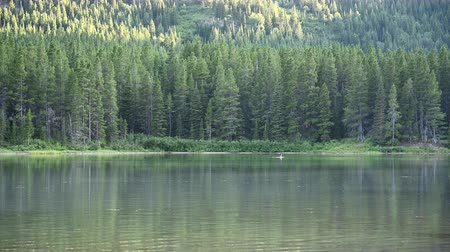 alce : Attentive Female Moose Stands Still in Lake in Montana wilderness