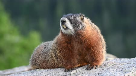 kürk : Barking Marmot sitting on large boulder