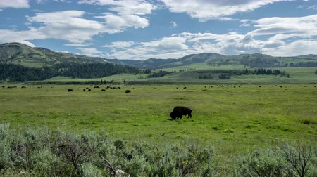 csorda : Bison Grazing Close in green field