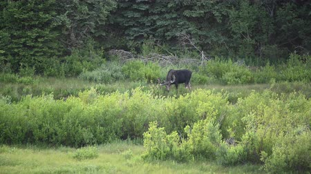 paroh : Bull Moose Grazes in Willow in Montana Wilderness