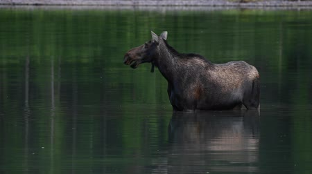 alce : Female Moose Chews in Still Water in Montana Wilderness