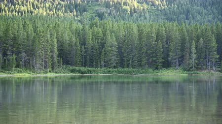alce : Female Moose Swims to Far Edge of Lake in Montana wilderness
