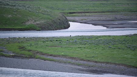 lobo : Lamar River Flows as Wolf Feeds on bison carcass Stock Footage