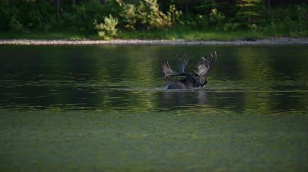 alce : Male Moose Antlers Peek Above Water