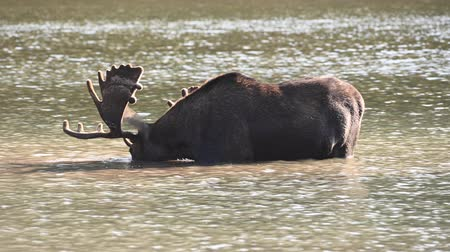 alce : Male Moose Eats Shallow Grasses in Montana pond Vídeos
