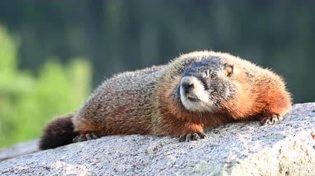 yellowstone : Marmot Laying On Rock Stares at Camera
