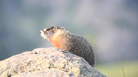 kürk : Marmot Looking Left Scratches Its Side