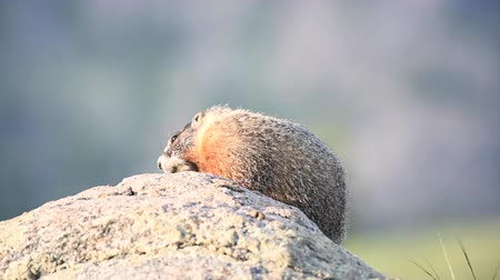 yellowstone : Marmot Moves Head from Right To Left Stock Footage