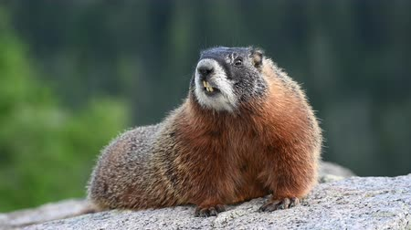 animal paws : Marmot Sits Up and Breathes Quickly
