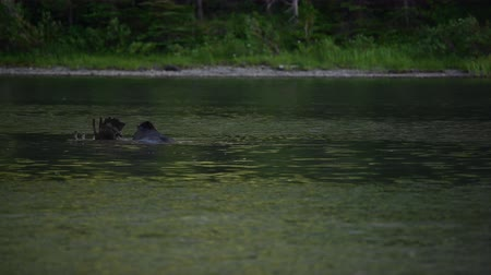 alce : Moose Eats Below Water on Left in Montana Lake Vídeos