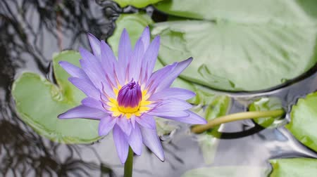 florale : Lotus in der Natur Videos