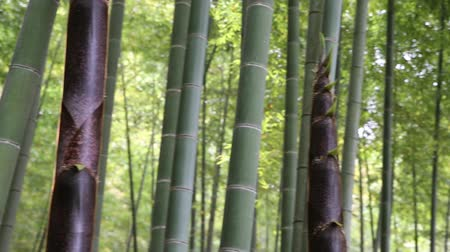 bamboo forest : Japanese bamboo forest