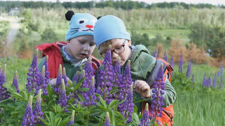 lupine : Children in the spring on a green field in purple candlelight colors. Stock Footage