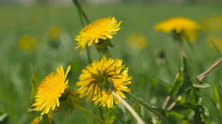 kertészeti : Yellow dandelion flowers among green grass