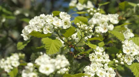 beporzás : Blooming garden. Branches of fruit tree in spring. White flowers close-up. Inflorescences of hawthorn. Stock mozgókép