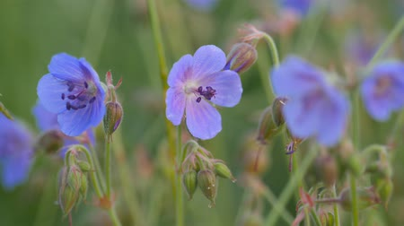 герань : The field-blue wild geranium. Green field in summer.