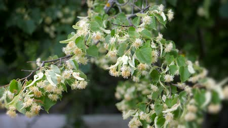 herbal : Linden flowers on green branches. Summer flowering season. Aromatherapy and green lime tea. Slow motion.