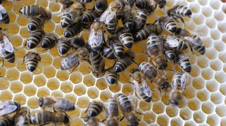 brood : Working bees work honeycomb with honey.