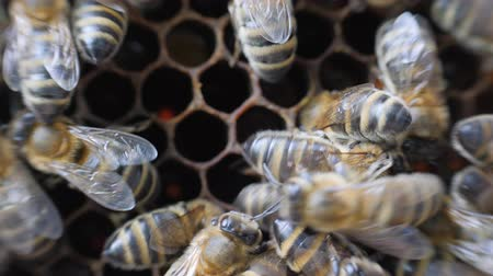 worker bees : Working bees work honeycomb with honey.