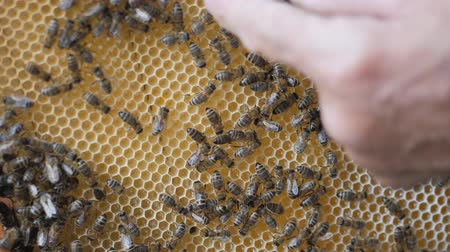 insects isolated : Working bees work honeycomb with honey. human hand fingers indicates the location in the cell with honey.