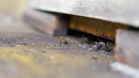 brood : Guard bees guarding the entrance to hive