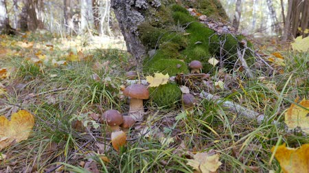 porcini mushrooms : White fungus in the forest. Fabulous mushroom glade in the autumn season. Yellow leaf falls on korichnivuyu mushroom cap. camera in motion.