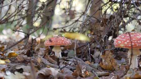 porcini mushrooms : mushroom mushroom in the forest. Incredible mushroom glade in the autumn season. Yellow Leaf. camera in motion. Stock Footage