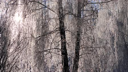 icy : Branches of snow-covered birch against the blue sky. Snow falls.