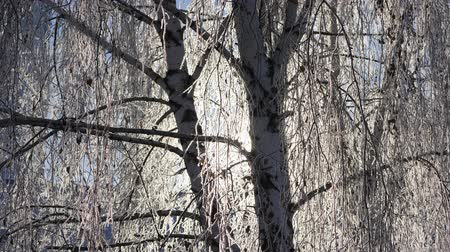 birch : Branches of snow-covered birch against the blue sky. Snow falls.