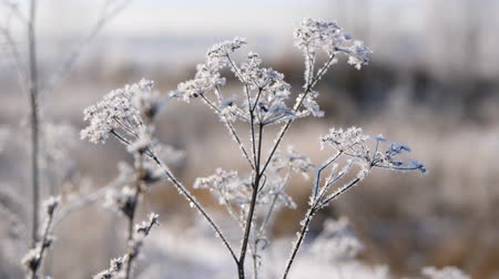 snow on grass : Dry grass in the snow. Panicles of dry grass shrouded in snowflakes against.