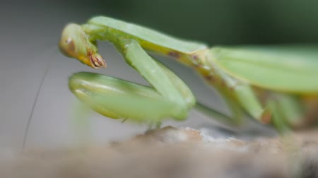 stalinist : Green mantis close-up. Insect paws over and washes his mustache.