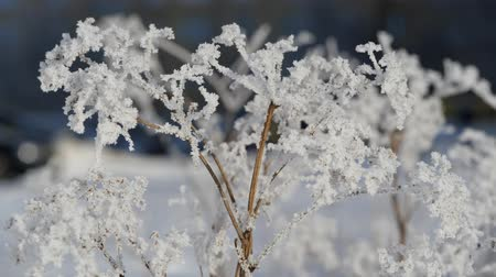 snowy background : Winter. Snowflakes on the branches of dry grass Stock Footage