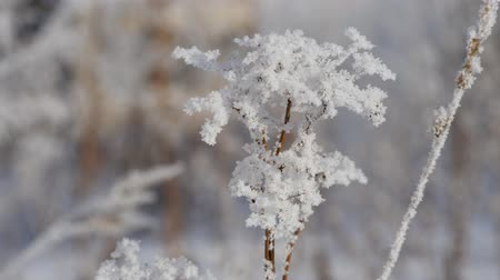 草で覆われた : Winter. Snowflakes on the branches of dry grass 動画素材