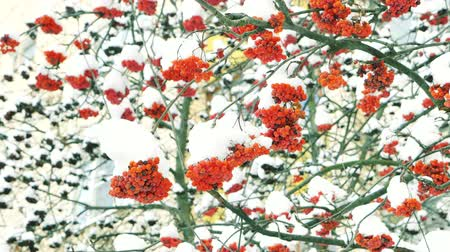 üvez ağacı : Clusters of rowan on the background of white snow