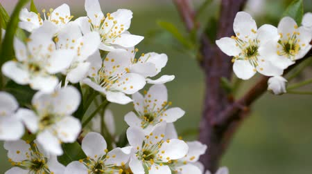 desfocagem : White flowers of sweet cherry in the spring. Berries sometimes blooms. Bud buds on a blurred background. The stamens of the flower fruit tree.
