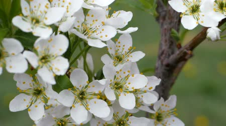 kwiecień : White flowers of sweet cherry in the spring. Berries sometimes blooms. Bud buds on a blurred background. The stamens of the flower fruit tree.