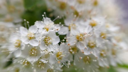 maj : Crataegus monogyna in spring. White inflorescences sway in the wind.