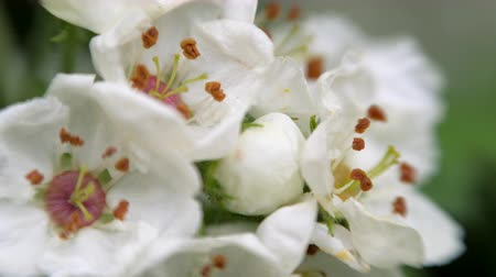 estames : White flowers of hawthorn in spring.