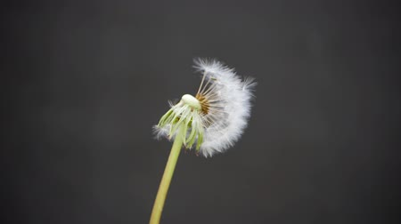 beporzás : Dandelion on a gray background. Dandelion seeds fly to the side. White head of a ripe flower.