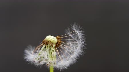 padák : Dandelion on a gray background. Dandelion seeds fly to the side. White head of a ripe flower.