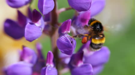 yabanarısı : Flower Lupinus swaying in the wind. Bumblebee collecting pollen.