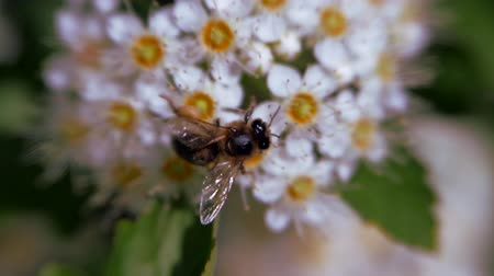 meidoorn : Bee on a white inflorescence in spring collects pollen. Crataegus monogyna in spring. White inflorescences sway in the wind.